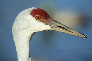 Sandhill Crane, Grus Canadensis Close Up of Head by Richard Wright