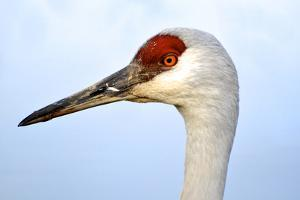 Sandhill Crane, Grus Canadensis, Close Up of Heads by Richard Wright