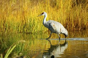 Sandhill Crane, Grus Canadensis, Stalking in Marsh by Richard Wright