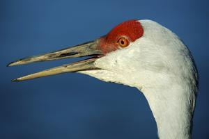 Sandhill Crane, Grus Canadensis with Beak Open in Call by Richard Wright