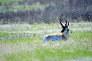 The American Pronghorn, a Buck Rests in the Grass by Richard Wright