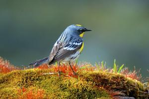 The Audubon's Warbler by Richard Wright