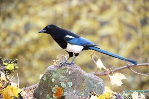 The black-billed magpie, is a bird in the crow family that inhabits the western half of North Ameri by Richard Wright