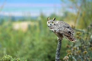 The Great Horned Owl, also known as the Tiger Owl by Richard Wright