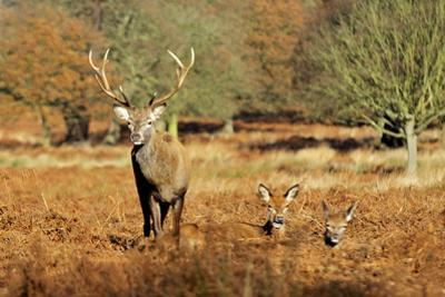 The Kings Deer, Red Deer Stags of Richmond Park, London, England by Richard Wright
