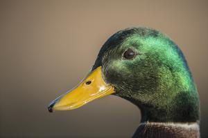 The mallard is a dabbling duck that breeds throughout the Americas, Eurasia, and North Africa. by Richard Wright