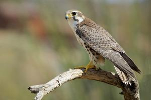 The Prairie Falcon Perched on a Dead Branch, Arizona, Usa by Richard Wright