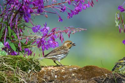 The purple finch is a bird in the finch family by Richard Wright
