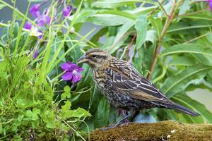 The red-winged blackbird is a passerine bird by Richard Wright