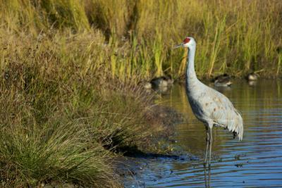 The sandhill crane is a large North American crane. by Richard Wright