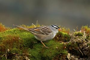 The White-Crowned Sparrow, Native to North America by Richard Wright