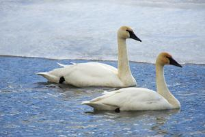 Trumpeter swan on river in winter. Formerly endangered, this heaviest bird in North American by Richard Wright
