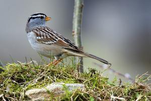 White-Crowned Sparrow Native to North America by Richard Wright