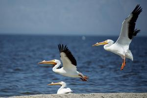 White Pelicans on the Shore of the Salton Sea in California by Richard Wright