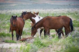Wild or feral horses populate large areas of the Great American Desert in states such as Nevada and by Richard Wright