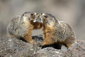 Yellow-Bellied Marmots Play Out a Mating Ritual in the High Desert by Richard Wright