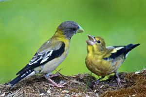 Young Evening Grosbeak Being Fed by Richard Wright