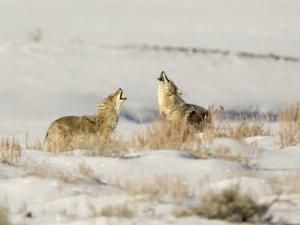 Two Coyote by richardseeleyphotography.com