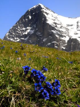 Gentians, Alpine Flowers in Front of the Eiger, Kleine Scheidegg, Bernese Oberland, Switzerland by Richardson Peter