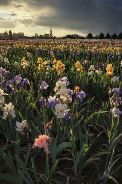 Iris Production Field at Sunset, Schreiner's Iris Gardens, Keizer, Oregon, USA by Rick A. Brown