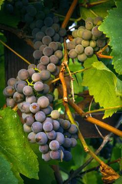Pinot Gris Grapes, Keizer, Oregon, USA by Rick A Brown