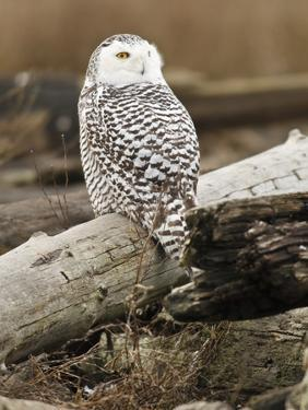 Snowy Owl, Boundary Bay, British Columbia, Canada by Rick A. Brown
