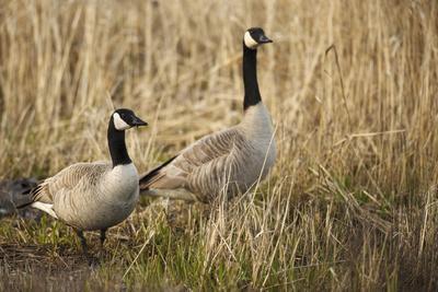 USA, Oregon, Baskett Slough NWR, a pair of Canada Geese.