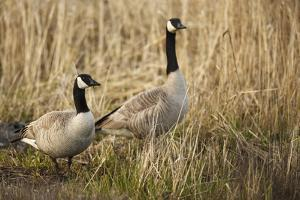 USA, Oregon, Baskett Slough NWR, a pair of Canada Geese. by Rick A. Brown