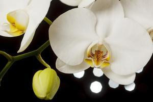 USA, Oregon, Keizer, Hybrid Orchid by Rick A Brown