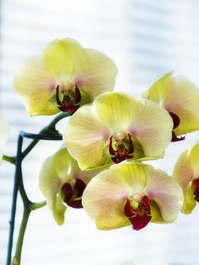 USA, Oregon, Keizer, Hybrid Orchids by Rick A. Brown