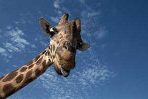 Giraffe by Rick Doyle