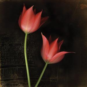 Species Tulips by Rick Filler