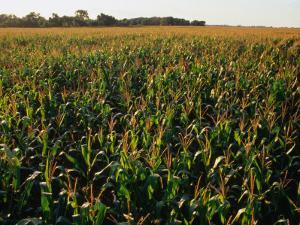 Field of Corn Near Aberdeen, Aberdeen, USA by Rick Gerharter