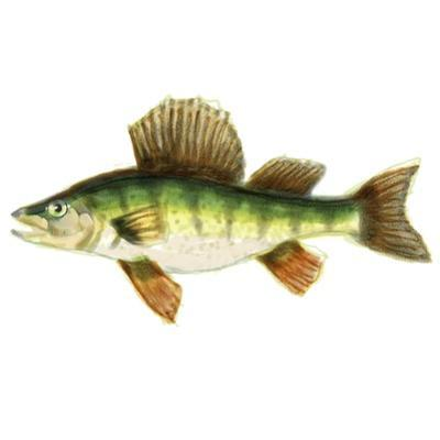 Illustrated Yellow Perch