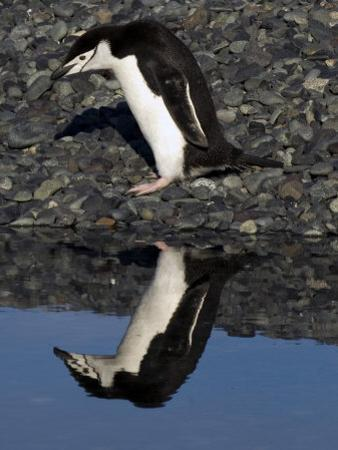 Adult Chinstrap Penguin, Yankee Harbour, Antarctica, January 2007