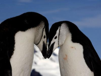 Adult Chinstrap Penguins Courting, Half Moon Bay, Antarctica, January 2007