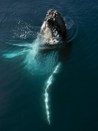 "Humpback Whale Plays Alongside Sy ""Adele"" in the Gerlache Strait, Antarctica, January 2007"