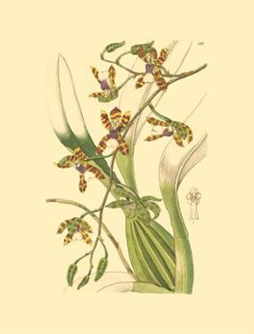 Orchids III by Ridgeway