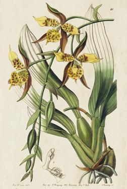 Spring Orchid I by Ridgeway