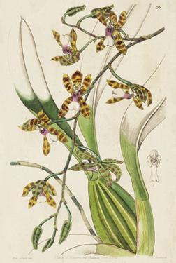 Spring Orchid II by Ridgeway