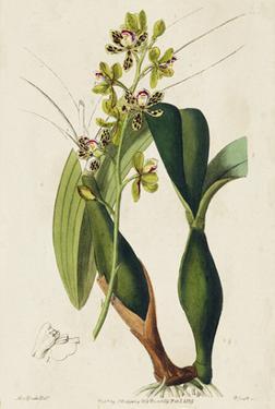 Spring Orchid III by Ridgeway