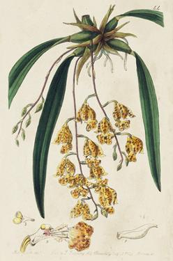 Spring Orchid VI by Ridgeway