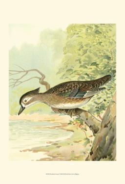 Woodduck Female by Ridgeway