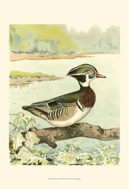Woodduck Male by Ridgeway