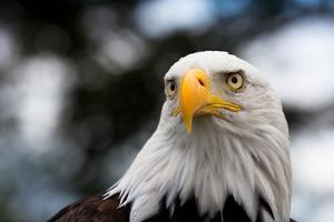 Eagle by rihardzz