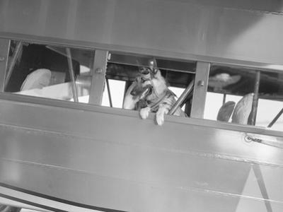 Rin Tin Tin Posing in Airplane