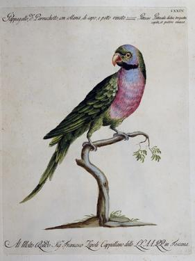 Ring-Necked Parrot or Parakeet