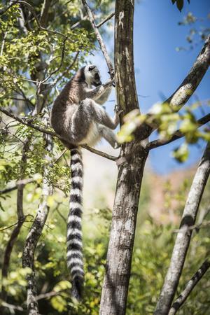 https://imgc.allpostersimages.com/img/posters/ring-tailed-lemur-lemur-catta-isalo-national-park-ihorombe-region-southwest-madagascar-africa_u-L-Q12R6XG0.jpg?p=0