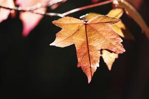 Amber Leaves II by Rita Crane