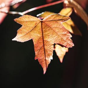 Amber Leaves III by Rita Crane